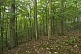 Image of A deserted Beech (Fagus sylvatica) tree forest.